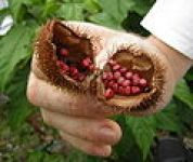 The seeds of the annatto brush
