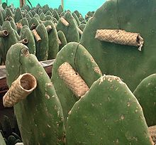 Culture de cochenilles au Mexique (photo: Wikipedia)